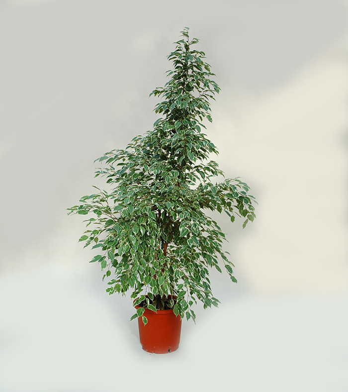 STUDIO BRANDALISE: FICUS BENJAMINA GOLDEN KING