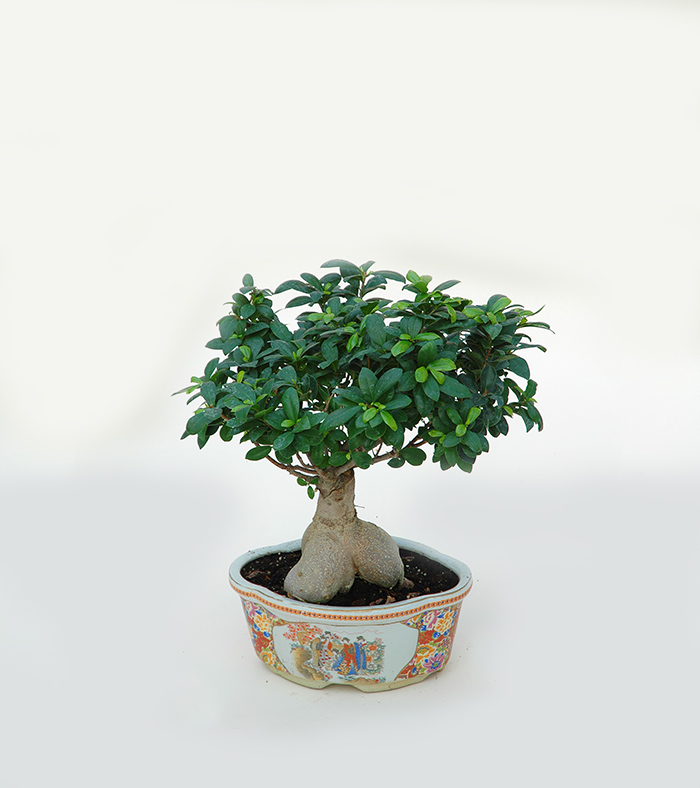STUDIO BRANDALISE: FICUS BONSAI