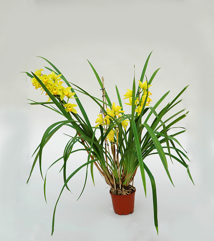 STUDIO BRANDALISE: CYMBIDIUM