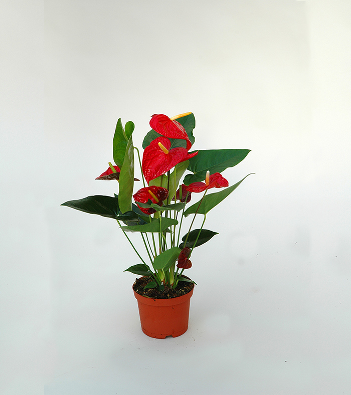 STUDIO BRANDALISE: ANTHURIUM