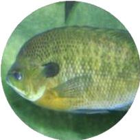 Pesce Persico Sole Acquaponica