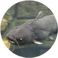 Pesce Gatto Acquaponica