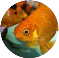 Pesce Rosso Acquaponica