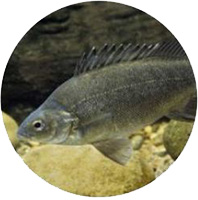 Pesce Persico Argentato Acquaponica