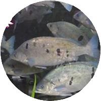 Pesce Persico Giada Acquaponica