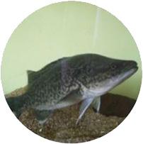 Merluzzo del Murray Acquaponica