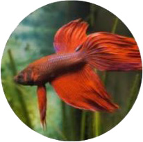 Pesce Combattente Siamese Acquaponica