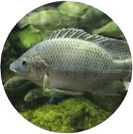 Tilapia Acquaponica