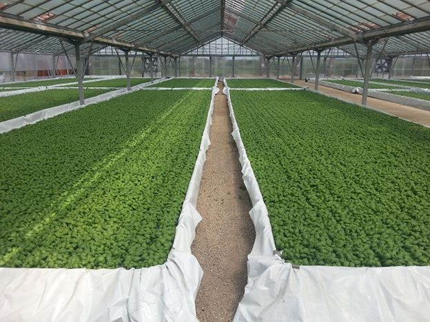 Examples of cultivation out of the ground Hydroponic agriculture